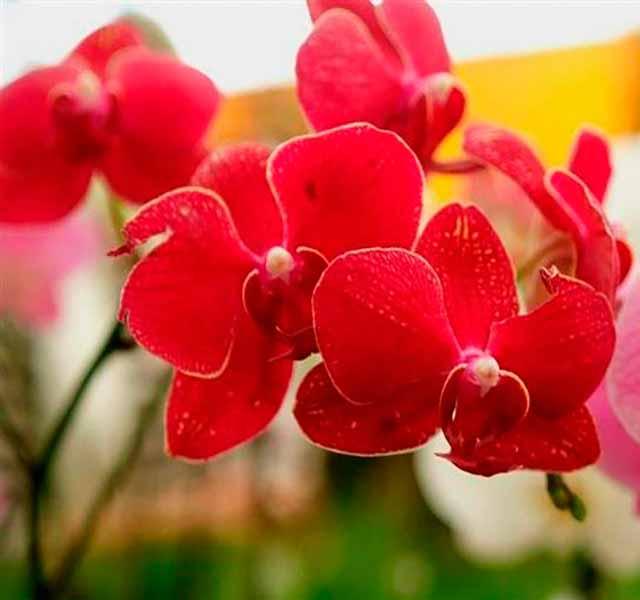orquídeas rojas